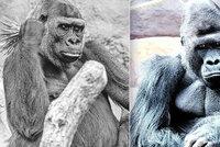 Smrt gorilí samice Bikiry (†25): Mohla za to psychika?