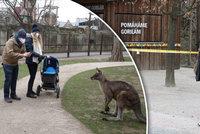 Po 115 dnech znovu otevřeno! Pražská zoo přivítala stovky návštěvníků, největší atrakcí jsou klokani