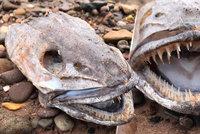 Dan s manželkou našli u vody podivné zvíře: Hlava s velkým jazykem a ostrými zuby je vyděsila
