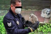Děti v Hradci Králové našly mládě sovy vypadlé z hnízda: Zavolaly strážníky, aby jim pomohli