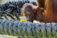Vrchol roztomilosti v Zoo Praha: Orangutánek Kawi se poprvé vydal ven! Zvědavě očichával pampelišky