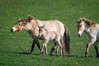 Babyboom u převaláků z pražské zoo: Během měsíce přišla na svět čtyři hříbata!