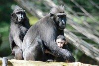Po Děčíne se pohybuje nebezpečný makak! Utekl z výběhu v zoo