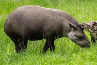 Sláva v pražské zoo: Šestitýdenní tapíří slečna dostala jméno Jasmína