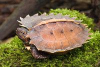 Vzácná želva ostnitá se narodila v Zoo Praha. Rodiče pocházejí ze zabavené zásilky