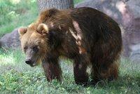 Vítej, Irino: Do Zoo Brno se přistěhovala blondýna, samice medvěda kamčatského