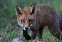 Šelmy v Ostravě: Po městě běhají vlci! Strážníci nachytali lišky