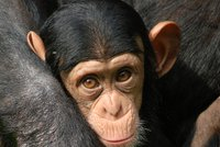 """Šimpanzi předvedli s """"brčkem"""" úžasnou inteligenci. Podívejte se na unikátní záběry"""