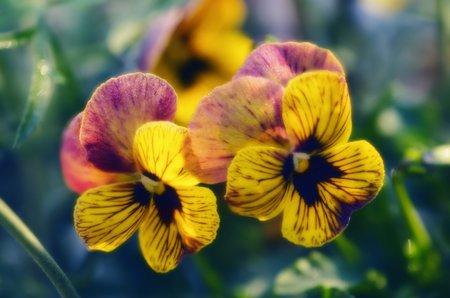 Macešky kvetou ve všech barevných odstínech kromě zelené.