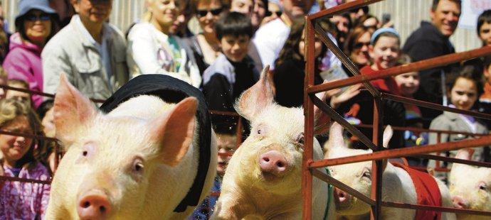 Pork Chop (vpravo) vede ve sprintu. Čtyři rozkošná prasátka, Ham Bone, Bacon Bone, Pork Chop a Miss Porky Pig, z nichž každé nosí šátek různé barvy, rozesmívají stovky přihlížejících