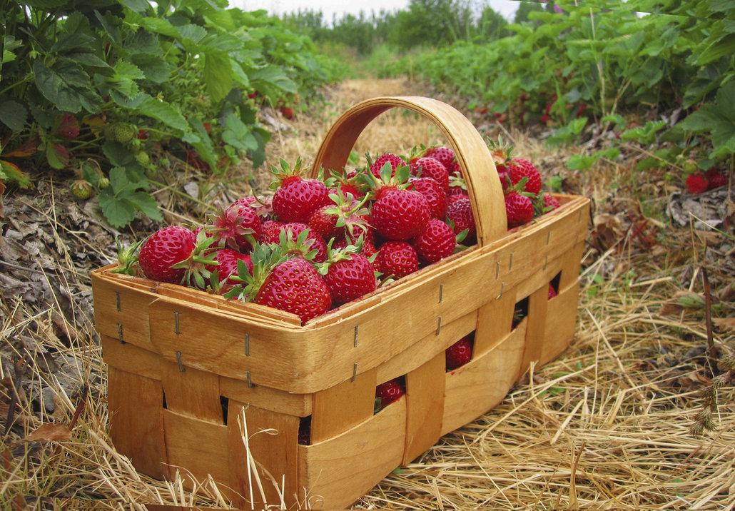 Košík jahod můžete zakoupit nebo si jahody sami natrhat