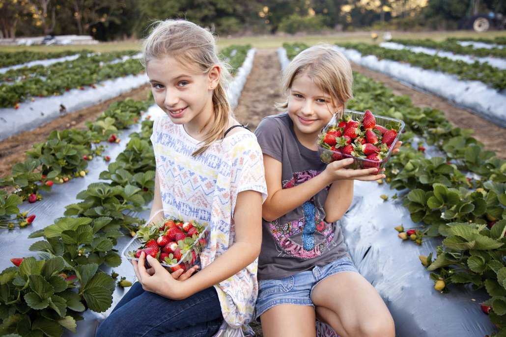 Sbírat jahody vám mohou pomoct i ti nejmenší