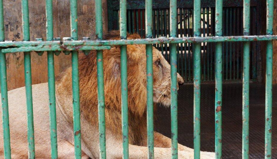 Kat mafiána zbil manželku a hodil ji do klece se lvem