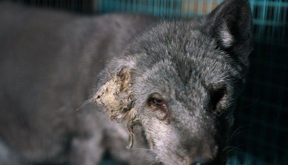 Ochránci zvířat našli na kožešinové farmě stovky zanedbaných zvířat