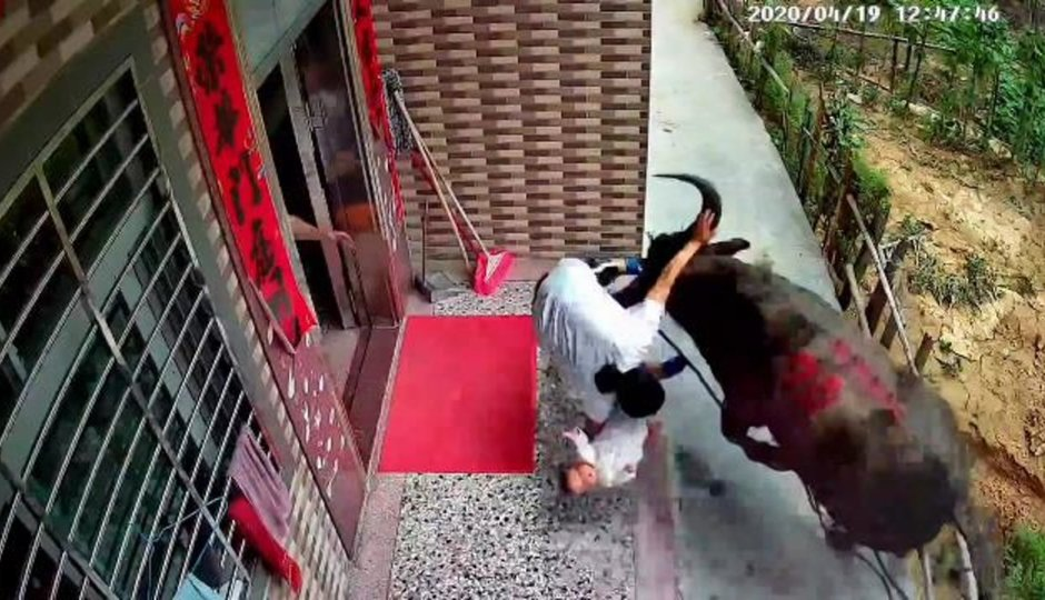 Býk napadl matku s kojencem v náručí. Jak se to všechno seběhlo?