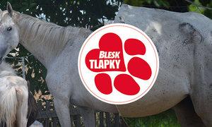 Týraným koním z Chomoutova se daří lépe, k původní majitelce se už nevrátí