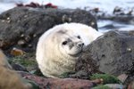 Tuleni nejsou moc uzpůsobeni k pohybu po souši