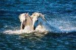Kůň camargský je jedním znejstarších a zároveň nejznámějších primitivních plemen koní vEvropě