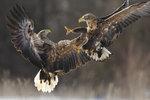 Zásnubní lety orlů morřských probíhají od ledna do března