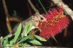 Sotva 11 cm velký vakoplch drobný (Cercartetus nanus) je jedním z řady opylujících stromových vačnatců