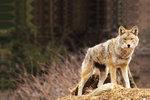 Vědci dnes rozeznávají 19 poddruhů kojotů, které se liší velikostí i zbarvením