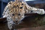 Levhart mandžuský je nejvýchodnější, nejotužilejší, největší a – bohužel – také nejohroženější kočkou Dálného východu